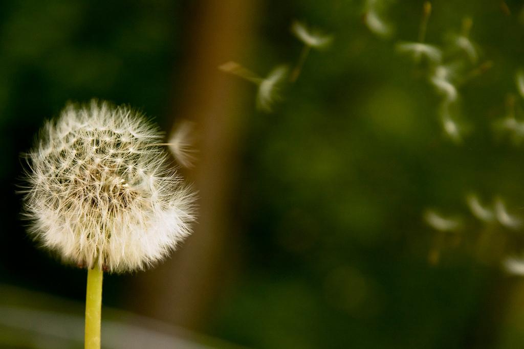 Blowing dandelion fluffy umbrella